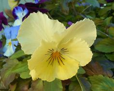 YELLOW PANSYFine Art Photography Nature by EyeLoveTheView on Etsy