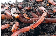 Vermicomposting is worming its way onto farms everywhere. Here's why you should fertilize with worm castings, and how to grow your own worm composting unit. Vermicomposting For The Homestead I'm al… Aquaponics System, Hydroponics, Aquaponics Fish, Organic Gardening, Gardening Tips, Organic Farming, Sustainable Gardening, Grow Organic, Organic Fertilizer