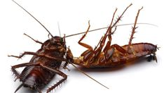 Cockroach Infestation: Everything you need to know and how to prevent it?