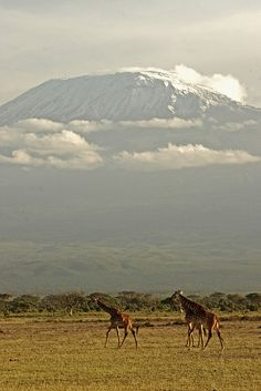 Kilimanjaro, Kenya. Giraffe's at Ambosli Park almost walking in the shadow of Mount Kilimanjaro in the background. Beautiful sight to see.