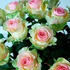 Name: 400 Seeds China Rare Dancing queen rose seeds Rose Flower Romantic Quantity: 400 Seeds Color: Cream white light pink flowers with green edge SOWING ADVICE Seeds are surface-sown or covered only slightly. Do not allow the soil to dry o.