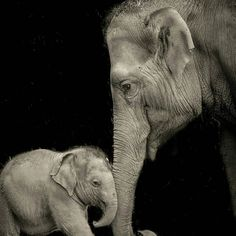 oh my heart. .!! Credit :  @elephantparadefan -  Female elephants will assist each other with the birth and care of their young. Babysitting is a very important part of a young elephant's development as it prepares her for when she becomes a first-time mother herself. . . For info about promoting your elephant  art or crafts send me a direct message @elephant.gifts or email elephantgifts@outlook.com  . Follow @elephant.gifts for beautiful and inspiring elephant  images and videos every day…