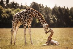 Giraffen-Nadine Volz