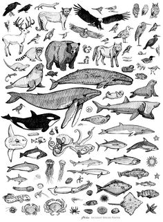 A super comfy sweatshirt with the Species of Ucluelet poster printed on the front and a humpback whale printed on the sleeve. Get to know your species! Art And Illustration, Botanical Illustration, Animal Sketches, Animal Drawings, Tattoo Drawings, Art Drawings, Tattoo Sketches, Art Sketches, Hai Tattoos