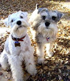 OMG these two Miniature Schnauzers are just so adorable, their names are Heidi & Caesar Two darling little mini's