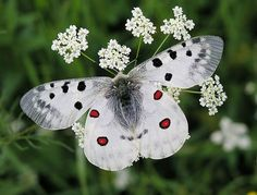 Beautiful butterfly on Queen Ann's Lace.