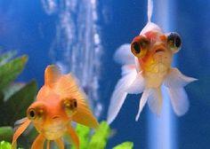 4k hd amazing goldfish - photo #35