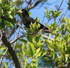 """O Japu (também conhecido como Guaxo em algumas regiões) é uma ave comum em muitos estados do Brasil, com exceção de uma parte do Nordeste e do Sul. Da família dos Xexéus e Iraúnas (a Icteridae) ele é um engenhoso construtor e um bicho sociável. Os Japus costumam formar a """"colônia"""" de seus ninhos em uma única árvore, pendurados como brincos nos galhos mais expostos – assim, eles têm proteção mútua contra predadores."""
