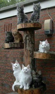 El árbol de los gatos.... vivos #catsandkittens http://www.mainecoonguide.com/kittens/