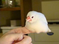 秋が深まると文鳥は指と一体化する pic.twitter.com/CDV4nMEowb