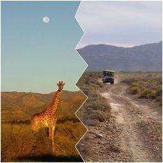 Safaris rund um Kapstadt - Teil 1 - WiLDES AFRIKA