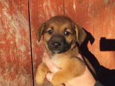 Jenny is an adoptable Hound Dog in Catharpin, VA. Jenny is an adorable mixed breed 7 week old puppy. We don't know for sure what breed she and her brothers and are, as sadly their mom had been hit by ...