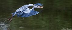 "Great blue Heron ""Ready to Fly"" by Max Rinaldi"