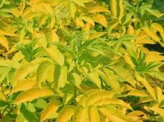 Kanadischer Gold-Holunder 'Aurea' - Sambucus canadensis 'Aurea'