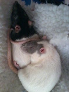 Rattie spooning!!! http://kindofsad.tumblr.com/