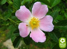 This Bach Flower Wild rose, it is grouped within the 'insufficient interest in the here and now' category. Wild Rose works excellent for people who often feel listless and apathetic. This Bach Flower will refuel you, give you new energy and the lust to live life again. #edwardbach #bachflowerremedies #wildrose
