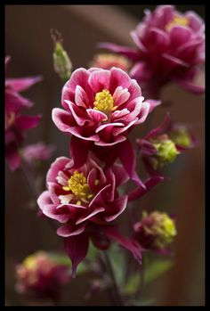 Aquilegia | Flickr - Photo Sharing!