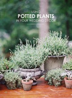 Using Potted Plants For your organic wedding's decor and centerpiece. Click here to get inspired!   #intimateweddinginspiration #diyweddings #weddingsdiyinspiration #diyweddingideas #diyweddingtutorial