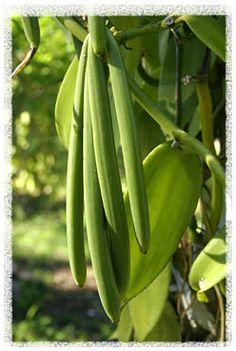 Tonga vanilla beans