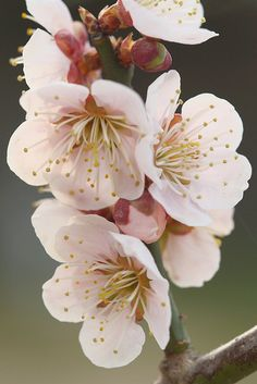 Japanese Plum Blossoms   Have these in my front yard and I LOVE the flowers and the fruit they give!