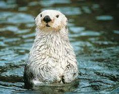 Resultado de imagem para sea otter