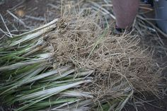 Quality bare-root slips from Vetiver Italy Soil Conservation, Grass, Around The Worlds, Herbs, Italy, Plants, Ideas, Italia, Grasses