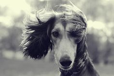 Saluki, by commelesapin.  They are so regal. Just stunning
