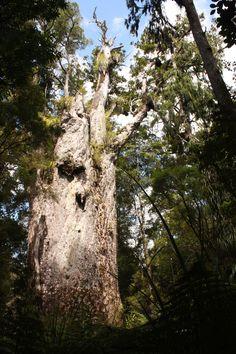 Kauri Coast: Alt wie ein Baum Coast, Plants, Travel, Northern Island, New Zealand, Beautiful Things, Things To Do, Tree Structure, Tips