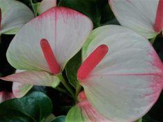 Conheça o fofíssimo Antúrio-hibrido (Anthurium andreanum 'Princess Amalia Elegance')😍  Curingas na hora de levar cor a canteiros e vasos em locais sombreados, os antúrios volta e meia ganham novos cultivares. Um dos últimos lançamentos - e que tem tudo para conquistar jardinistas Brasil afora - é o 'Princess Amalia Elegance', cujas inflorescências chamam a atenção de longe por conta da bráctea branca marmorizada com nuances de vermelho e verde, e da espádice vermelho-escura ou pink. A…