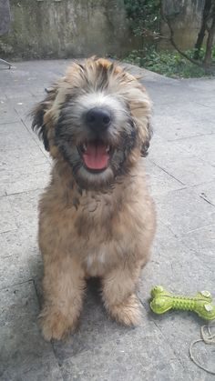Wheaten Terrier Wheaten Terrier Love Terrier Wheaten Terrier
