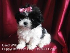 "Looks a great deal like my ""Lacy""! Shih Poo Puppies, White Pomeranian Puppies, Puppies And Kitties, Cute Puppies, Cute Dogs, Kittens, Doggies, Dog Love, Puppy Love"
