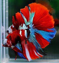 Beta Fish, Betta, Aquarium, Exotic Fish, Animaux, Betta Fish, Goldfish Bowl, Aquarium Fish Tank, Aquarius
