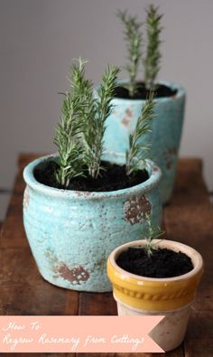 17 Apart: How To: Propagate & Regrow Rosemary Cuttings. Start about 6 right now and give as gift at Christmas time