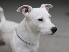 All White Jack Russel