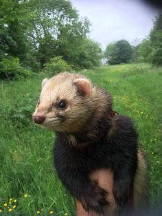 Ferret out on a walk!