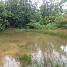 Cricket Frog habitat. Tennessee #frogs #acris #cricketfrog #ponds #wetlands #water #wetland #wildlife #nature #amphibians #wildlifehabitat #habitat #tn #tennessee