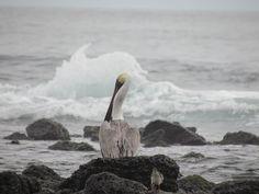 Pelícano de Galápagos (Pelecanus occidentalis),  ave marina que  descansa en los manglares. También considerada una sub-especie endémica.  Verla volar por el océano es  un espectáculo sin igual.