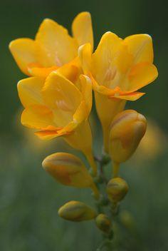 Yellow freesia Come in white, yellow, orange, red, pink, mauve, lavender, purple and bi-colours.