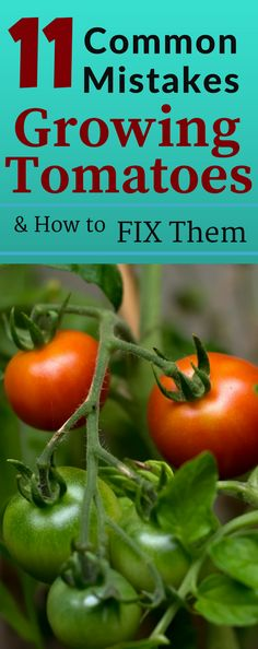 11 COMMON MISTAKES made when GROWING TOMATOES. If you don't know about them it can lead to disaster or fail. Learn how to fix these common mistakes made when growing tomatoes and grow lots of tomatoes. Nothing is more frustrating when you make a mistake and your tomato crop fails.