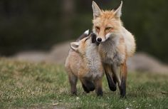 Red fox Vixen and kit_073A6914