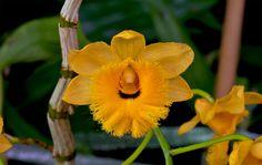 Orchid: Dendrobium fimbriatum var. oculatum