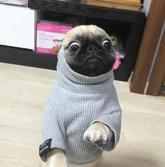 Loca the Pug singing……'The pug that couldn't run' Cute Pugs, Cute Funny Animals, Funny Dogs, Pug Kawaii, Animals And Pets, Baby Animals, Pugs And Kisses, Pug Pictures, Pug Puppies