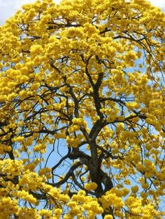 Tabebuia tree flowering in south florida flowers pinterest tabebuia caraiba exotic yellow flower ornamental flowering tree seed 100 seeds mightylinksfo