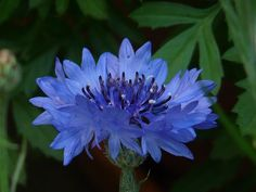 kornblume, blau, blume, blüte, sommer