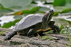 Comparing Western Painted Turtle with Red-eared Slider