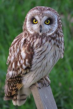 Short-eared Owl by Mubi.A Now, I'm Ranking No. 2 ! ^^; https://youpic.com/photographers