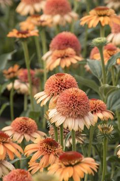 Wow, just wow. Supreme Cantaloupe Coneflower