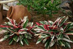 Stromanthe plants - I have these in my front yard, so striking from the street ~ Florida Landscaping, Florida Gardening, Tropical Landscaping, Landscaping Plants, Tropical Garden, Front Yard Landscaping, Landscaping Ideas, Backyard Ideas, Inexpensive Landscaping
