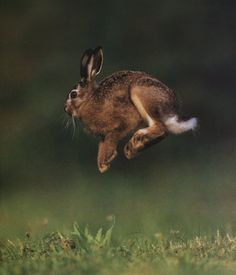 Jumping hare.
