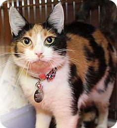 Port Washington, NY - Domestic Shorthair. Meet Ginny, a cat for adoption. http://www.adoptapet.com/pet/11192007-port-washington-new-york-cat